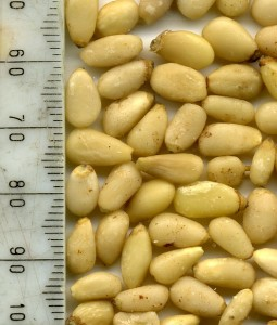 Baby Pine Nuts from Julian Graves Edinburgh